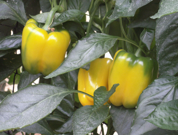 Peppers in a Greenhouse