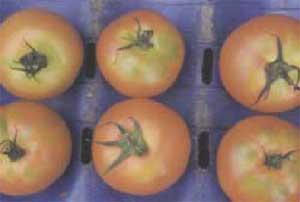 ملف كامل عن زراعة الطماطم  Shoulders1